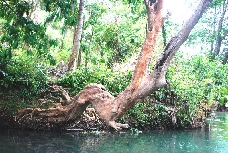 A gnarled tree along the river bank