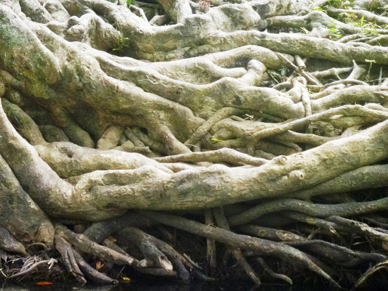 A grotesque tangle of tree roots