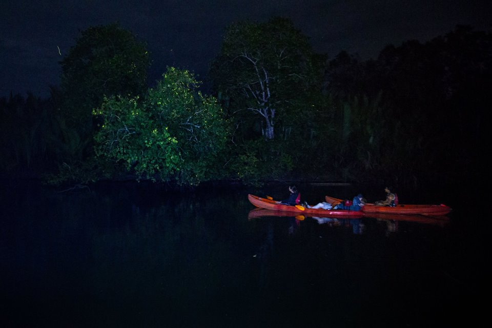 Fireflies lighting up the mangroves like Christmas trees (photo - Julia Wimmerlin)