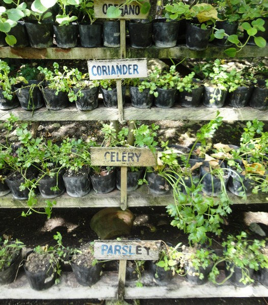 Potted herbs and vegetables
