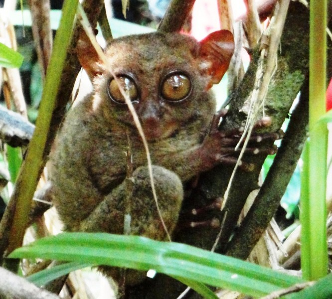 The tarsier in its nature habitat