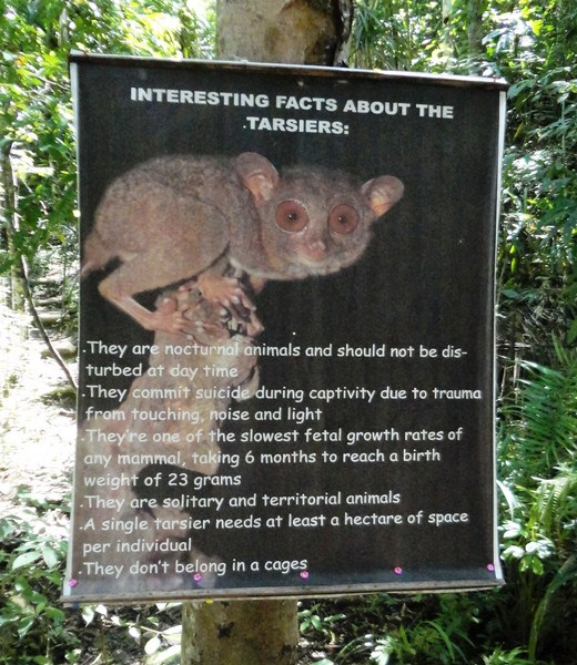 What you should know about the tarsier