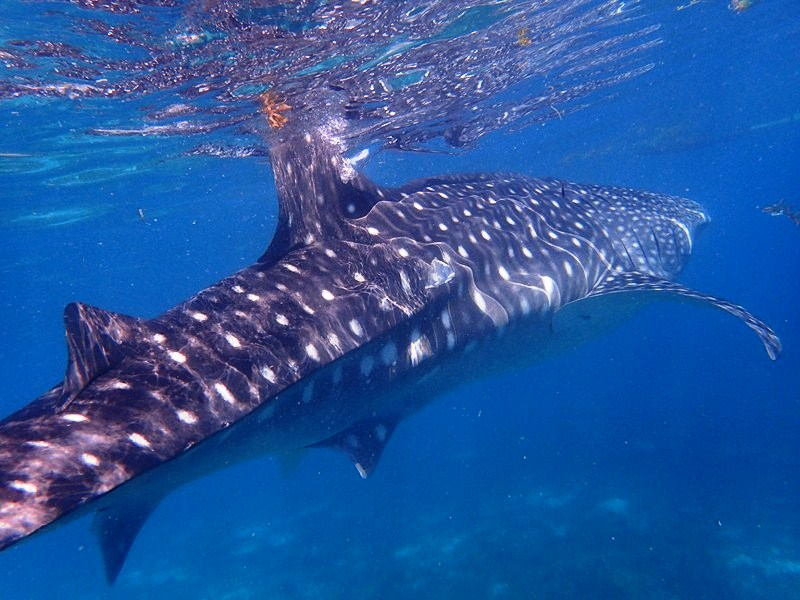 The gentle but majestic whale shark (photo: Liana Smith-Bautista)