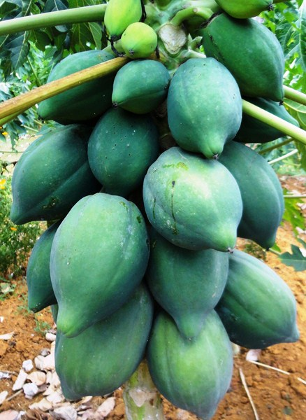 A bunch of papayas