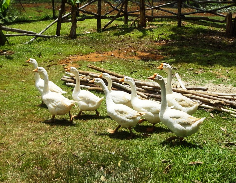 A parade of geese