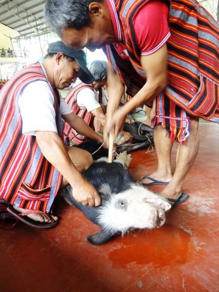A pig sacrifice