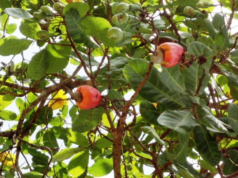 Kasuy tree