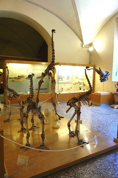 Skeletons of flightless moas from New Zealand