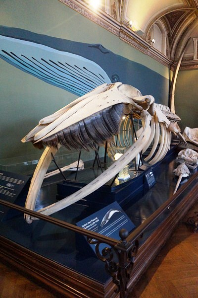 Fin whale skeleton - photo#30